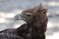 Crested Eagle Royalty Free Stock Image