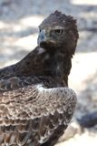Crested Eagle Raptor Royalty Free Stock Image