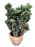 Crested Euphorbia, branched crested plant. Crested Euphorbia, branched crested, erect shrub plant forming a snaky ridge on orange pot isolated on white stock photo