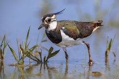 Crested Female Northern lapwing Stock Images