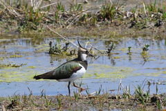 Crested Female Northern lapwing Stock Photography