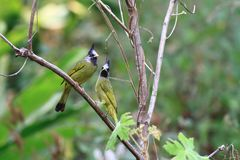 Crested Finchbill stock image