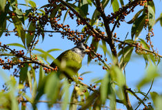 Crested Finchbill (Spizixos canifrons) Royalty Free Stock Images