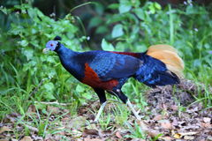 Crested fireback Stock Images