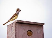 crested flycatcher большой Стоковая Фотография