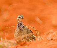 Crested francolin Stock Image