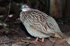 Crested Francolin Stock Photo