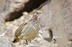 Crested Francolin amongst rocks Royalty Free Stock Images