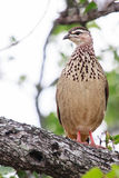 Crested Francolin. The Crested Francolin can be distinguished from other francolins by the broad white eye-stripe contrasting with the dark head, combined with Royalty Free Stock Photos