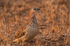 Crested Francolin in evening light Royalty Free Stock Photos