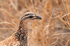 Crested Francolin portrait Stock Photo