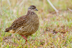 Crested Francolin Walking Stock Photo