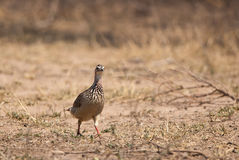 Crested Francolin walking Stock Image