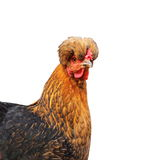 Crested funny isolated hen Stock Photography