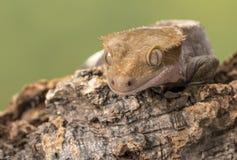 crested gecko Изолированный против приглушенной зеленой предпосылки Фокус на глазах Стоковые Фото