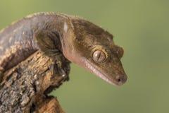 crested gecko Изолированный против приглушенной зеленой предпосылки Фокус на глазах Стоковые Фотографии RF