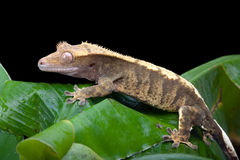 Crested Gecko. New Caledonian Crested Gecko sitting on a banana leaf stock image