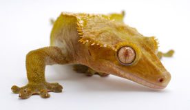 Crested Gecko. Close up of eye and face royalty free stock images