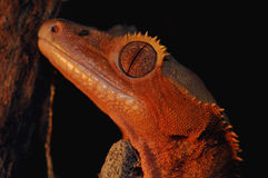 crested gecko Стоковые Фотографии RF