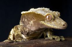 Crested Gecko. The Crested Gecko / Rhacodactylus ciliatus is a gecko species from New Caledonia royalty free stock photos