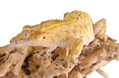 Crested gecko Stock Photography