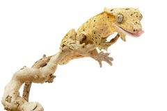 Crested Gecko. On white background royalty free stock image