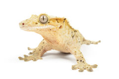 Crested Gecko Royalty Free Stock Image