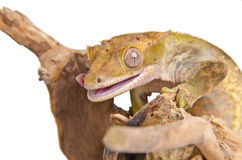Crested gecko (3) Royalty Free Stock Photo