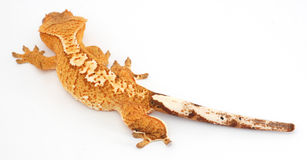 Crested Gecko 3/4 rear. Colourful Orange Spotted Crested Gecko close up royalty free stock photography