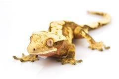 Crested Gecko. (Rhacodactylus ciliatus) on white background Royalty Free Stock Image