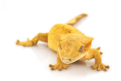 Crested Gecko. (Rhacodactylus ciliatus) on white background royalty free stock photos