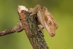 crested gecko Стоковые Фото