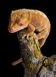 Crested Gecko on branch Stock Photography