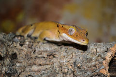 Crested gecko at branch, Correlophus ciliatus royalty free stock image
