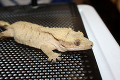 Crested Gecko in Cage Stock Images