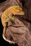 Crested gecko climbing. A crested gecko is climbing on some petrified wood Royalty Free Stock Photography