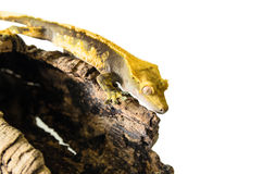 Crested gecko climbing stump isolated on white background. Lizard crested gecko (rhacodactylus ciliatus) climbing stump isolated on white background - stock Royalty Free Stock Image
