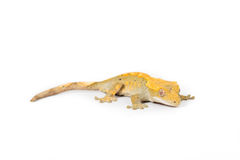 Crested gecko. Close up picture crested gecko on a white background Royalty Free Stock Image