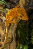 Crested gecko Correlophus ciliatus Stock Photography