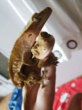 Crested Gecko Couple royalty free stock image