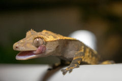 Crested Gecko Licking Eye Royalty Free Stock Images