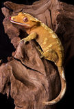 Crested gecko on petrified wood Stock Image