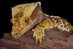 Crested gecko portrait Royalty Free Stock Photo