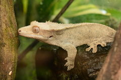 A Crested Gecko portrait. royalty free stock photo