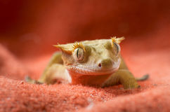 Crested gecko. Portrait on a red background Royalty Free Stock Photography