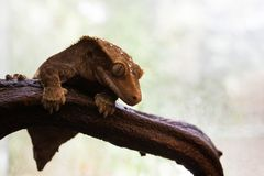 Crested gecko. A small brown lizard sitting on a log Stock Photography