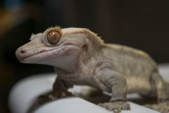 Crested Gecko With a Smile Stock Photos
