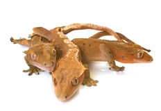 Crested gecko in studio Royalty Free Stock Images