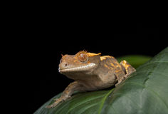 Crested Gecko Royalty Free Stock Photo