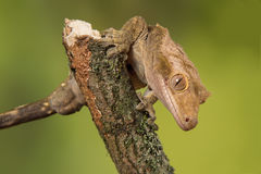 Crested gecko. Very close photograph of an inquisitive crested gecko on a branch facing down Stock Photos